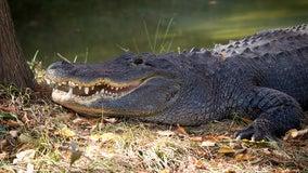 Deputies: Woman killed in alligator attack at South Carolina pond