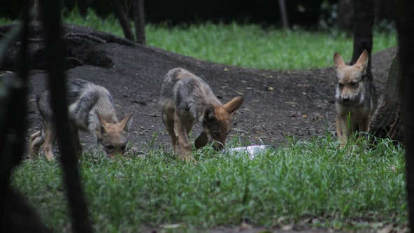 Rough start to the year for Mexican gray wolves, cattle