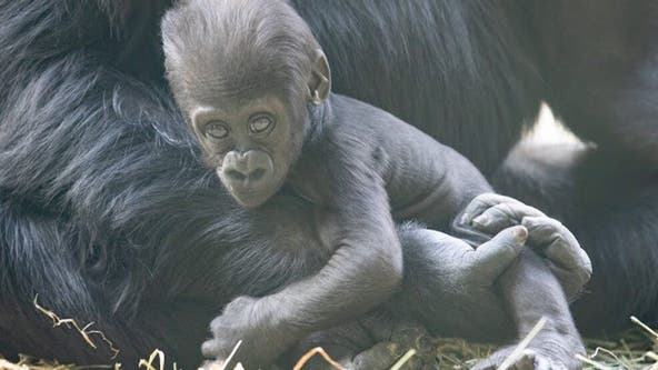 Baby gorilla badly injured in family fight at Seattle zoo