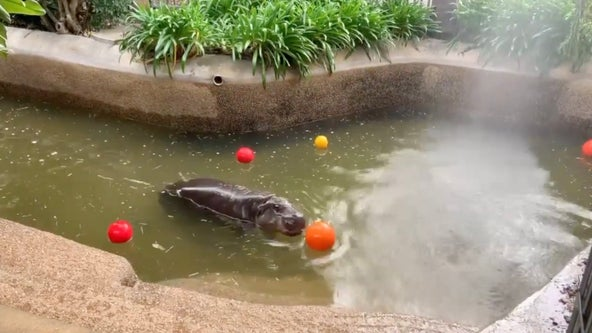 Pygmy hippo gifted cake, colorful balls for 5th birthday