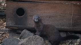Study: Minks infected with COVID-19 by humans can spread coronavirus back to them