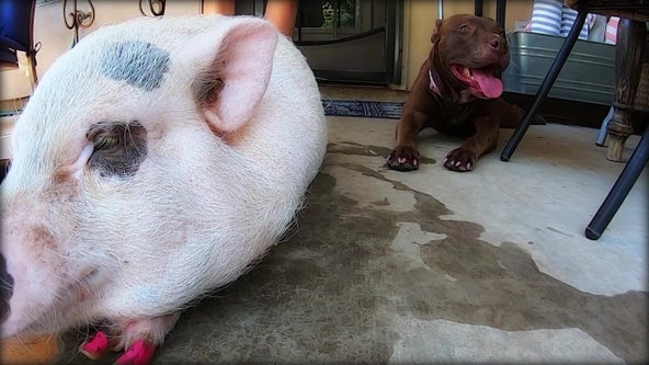Pig, pit bull forms unlikely duo