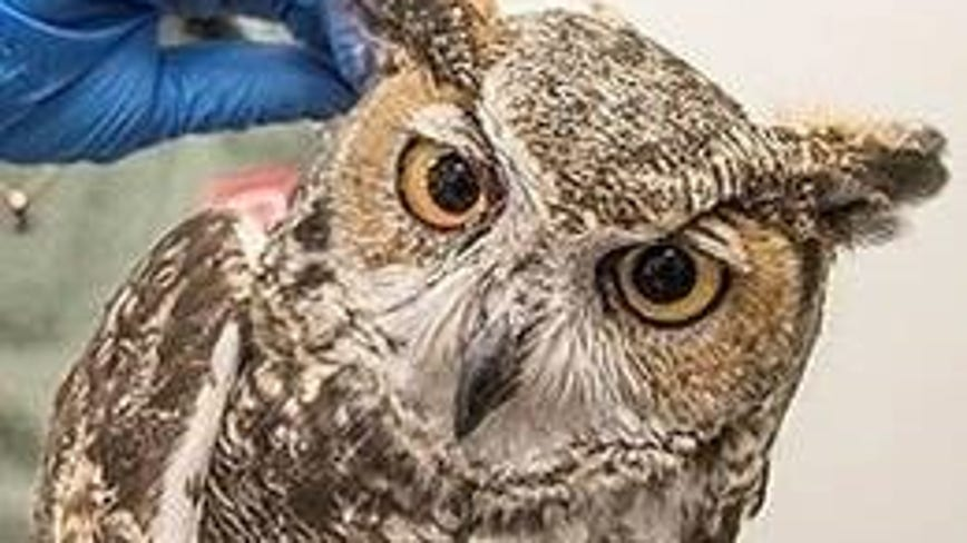 Owl struck by driver on I-10 in Phoenix to be released back into nature