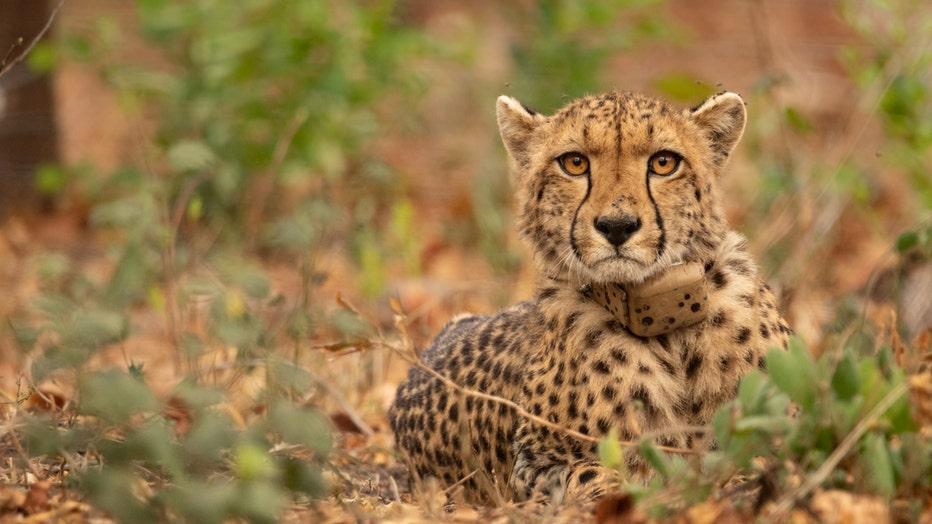 African_Parks_Majete_Cheetah.jpg