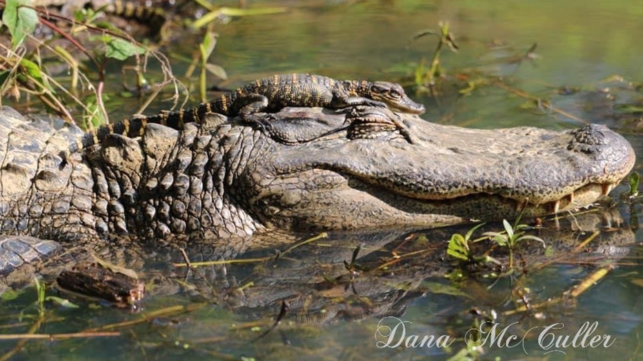 d7d5ea63-baby-and-mama-gator-2.jpg