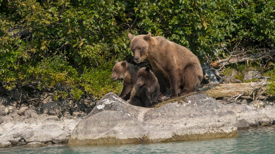 A Brown bear (Ursus arctos) sow and cubs is resting on a