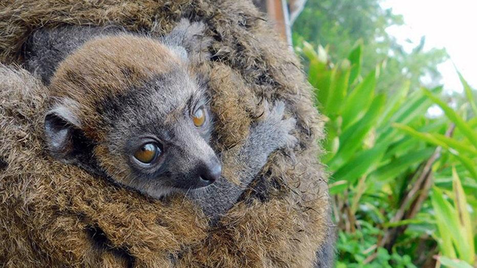 zoo-miami-lemur-2.jpg