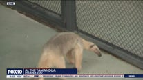 Animal ambassadors: Al the Tamandua at Phoenix Zoo
