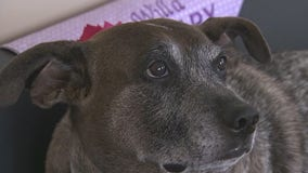 Shelter dog proves you can train older dogs to be therapy animals