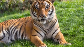 Tucson Zoo's Sita the tiger euthanized after kidney disease progresses