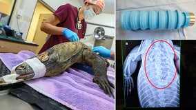 Komodo dragon undergoes emergency surgery after eating water bottle dropped into zoo enclosure