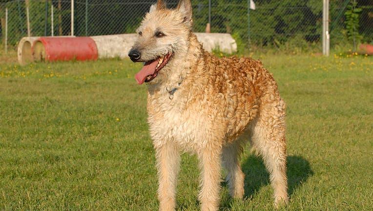 Dog, Belgian Laekenois