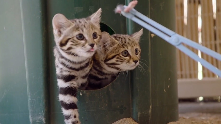 RARE_BLACK_FOOTED_CATS_AT_SAN_DIEGO_ZOO__VO_SOT___QCZXJGD.mp4.00_00_49_41.Still003