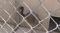 Emu escapes, sends Scottsdale residents and officers on a short chase