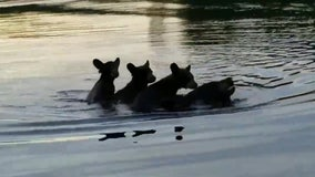 Mama bear carries 3 cubs on her back to swim across Wisconsin lake