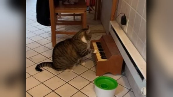 Tabby cat plays piano to tell owners he's hungry