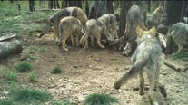 3 Mexican wolf pups cross-fostered into an Arizona pack