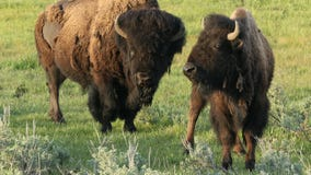 Gilbert man and his brother accused of harassing bison at Yellowstone National Park