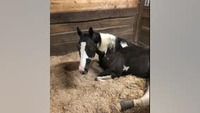 'Dread Head Cowboy's' horse recovering on farm in south suburbs