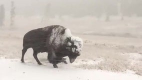 Bison walks through 'unseasonable' Labor Day snowstorm in Yellowstone National Park