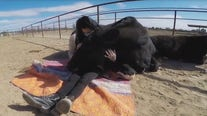 Animal sanctuary in Gilbert offering cow hugging sessions