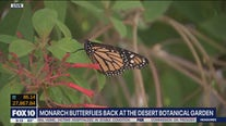 Monarch butterflies return to Desert Botanical Garden