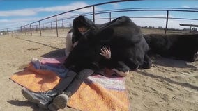Animal sanctuary in Queen Creek offering cow hugging sessions