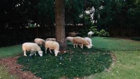 Flock of sheep found wandering through Brookhaven