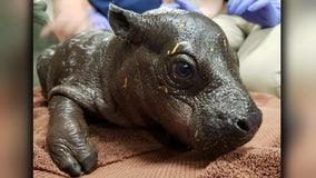 It's a boy! Endangered pygmy hippo born at Boston zoo