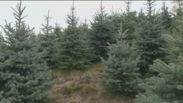 Prescott National Forest Christmas tree permits available