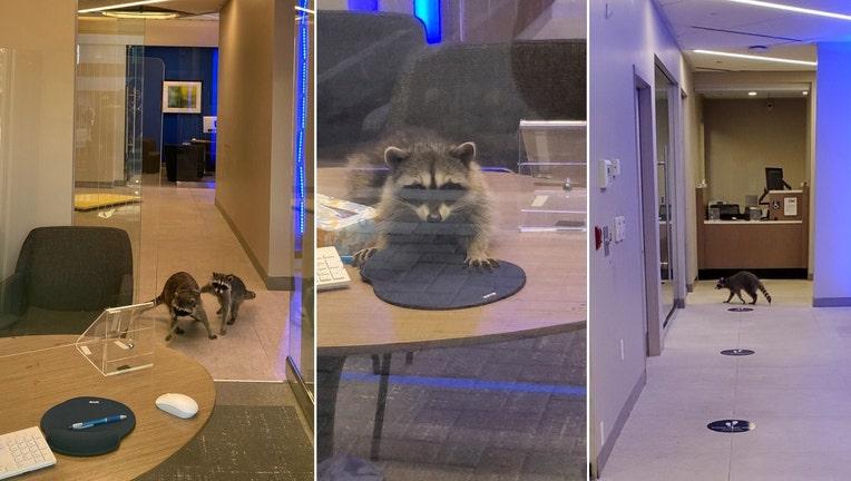 raccoons break into bank