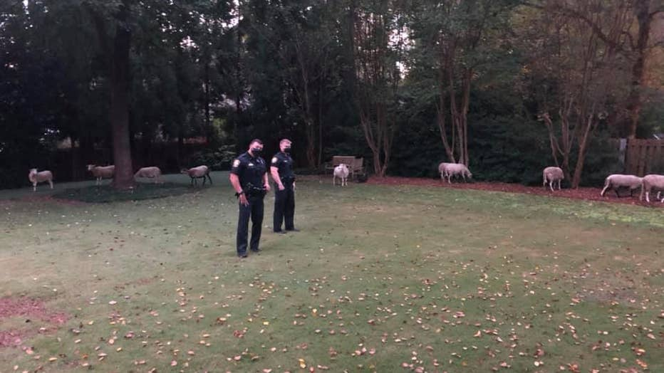 Brookhaven-police-watching-over-sheep.jpg