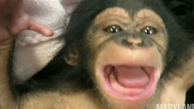 So cute! Baby chimp laughs for first time at Maryland Zoo
