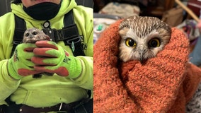 Adorable owl rescued from Rockefeller Christmas tree