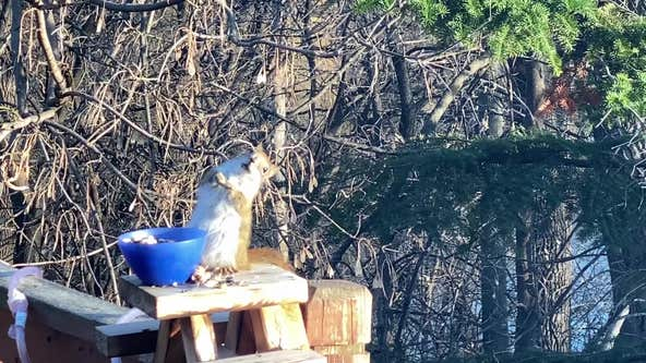 Squirrel gets drunk after eating fermented pears outside Minnesota woman's home