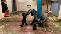Gorillas enjoy morning playtime at Zoo Atlanta