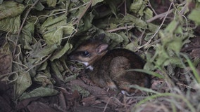 Video shows birth of rare Philippine mouse-deer at zoo in Poland