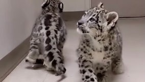 Zoo successfully rehabilitates snow leopard cubs that couldn't walk