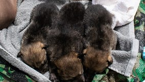 At least 7 Mexican wolf pups successfully cross-fostered into wild packs