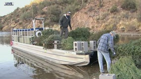 Old Christmas trees being dropped into Saguaro Lake to make fish habitats