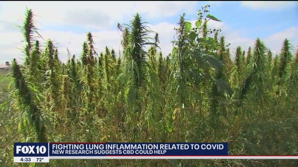 New research suggests CBD could help fight COVID-related lung inflammation