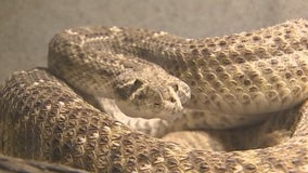 Rattlesnake season about to start in Arizona