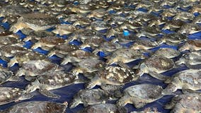 1,700 rehabilitated turtles returned to Texas waters