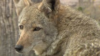 Coyote mating season underway in Arizona