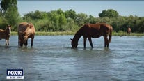 Wild horse management group works to humanely control the population on the Salt River