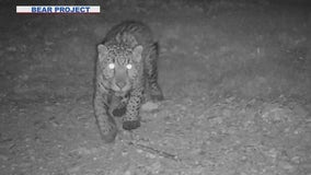 Jaguar sighting near Arizona-Mexico border gives researchers hope for species