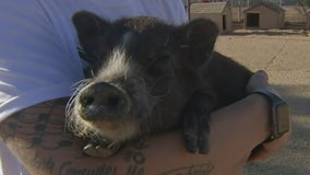 Better Piggies Rescue in Phoenix selling T-shirts to raise money