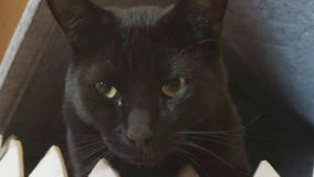 Gilbert Police looking for person responsible for shooting Halloween the cat