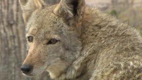 Coyote mating season underway in Arizona