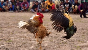 Rooster kills man during banned cockfight in India